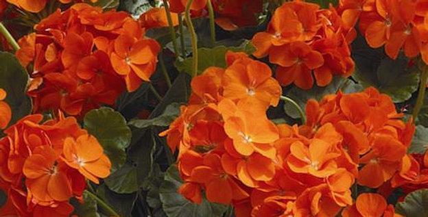 Geranium 'Maverick Orange' 3.5po.