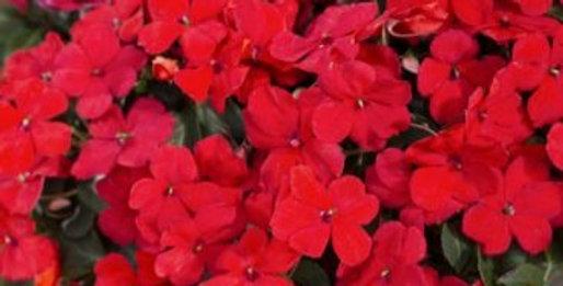 Impatiens 'Imara Red' 6 pack