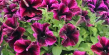 Petunia 'Crazytunia Cosmic Purple' 4po.