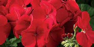 Geranium 'Maverick Scarlet' 3.5po