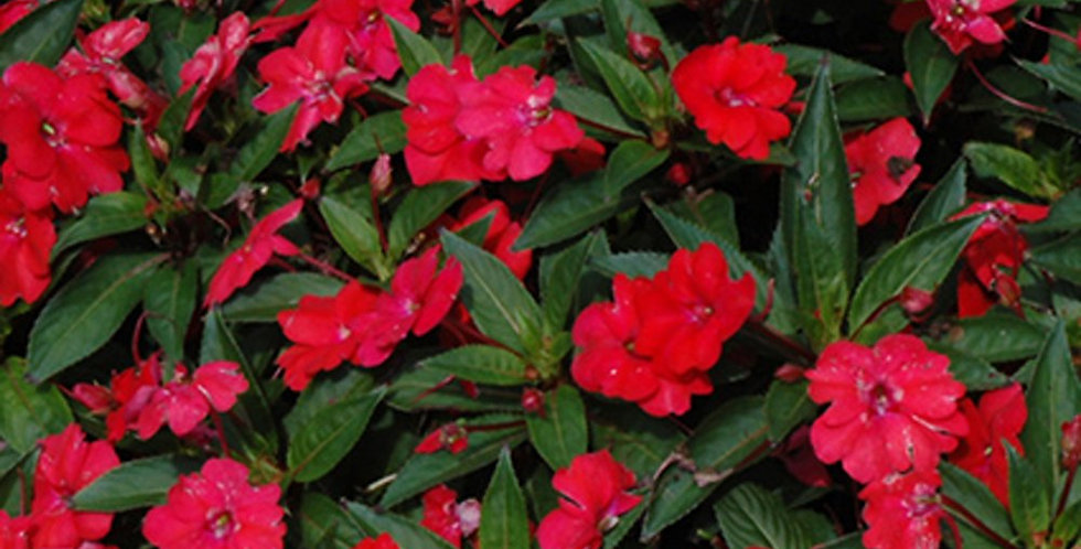 Impatiens 'Sunpatiens Vigorous Red' 4po.