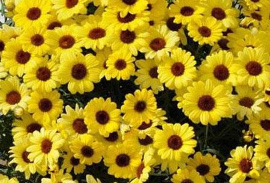 Argyranthemum 'Grandaisy Yellow' 4po.