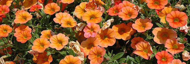 Calibrachoa 'Mini Famous Orange' 4 po.