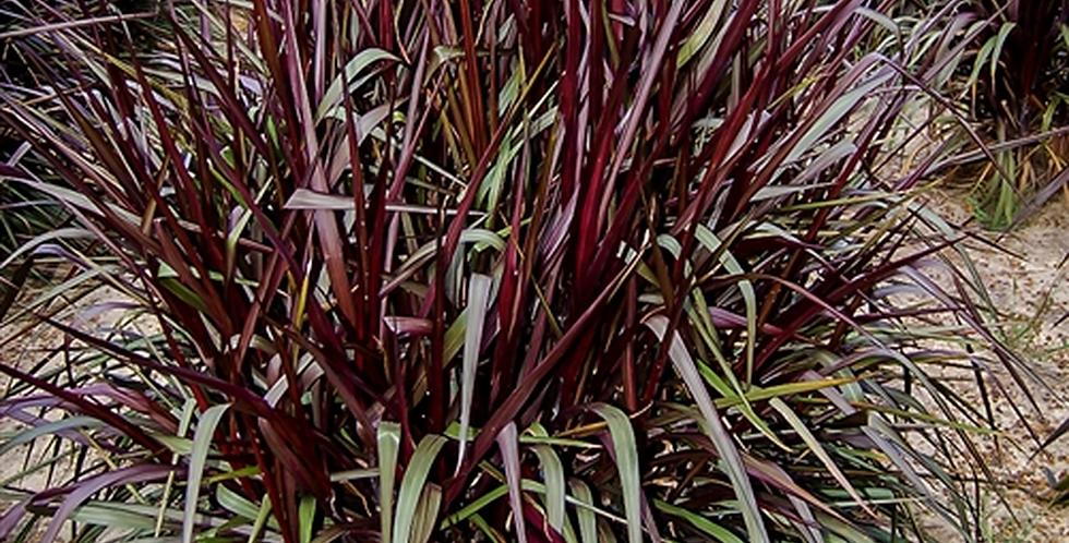 Pennisetum purpureum 'Royal Lady' 1 gal.