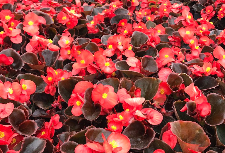 Begonia Night life red - 6 pack.