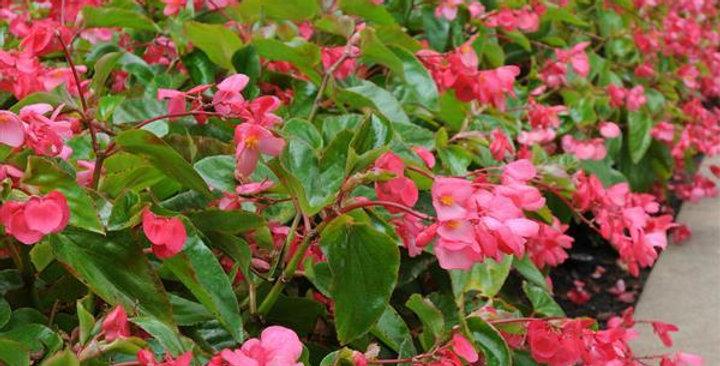 Begonia 'Bébé Wing Pink' 4po.