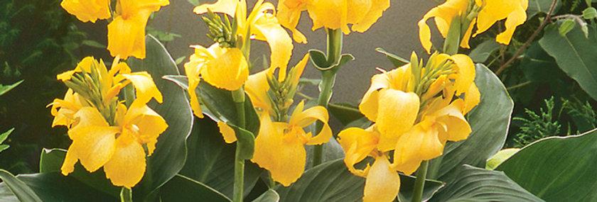 Canna 'Cannova Yellow' 2 gal.