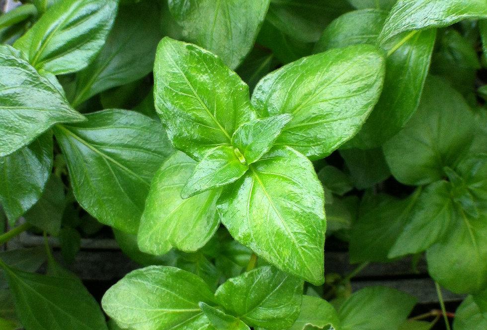 Plante champignon 'Rungia Glossi' 4po.