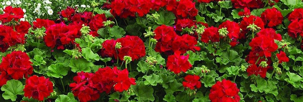 Geranium 'Calliope Med Dark Red' 4po