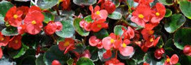 Begonia 'Dragon Wing Red' 4po.