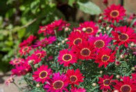 Argyranthemum 'Grandaisy Red' 4po.
