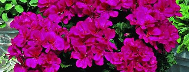 Geranium 'Maverick Violet' 3.5po