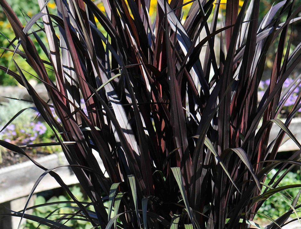 Pennisetum purpureum 'First Knight' 1 gal.