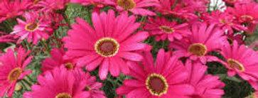 Argyranthemum 'Grandaisy Dark Pink' 4po.