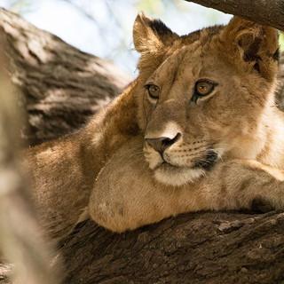 Wildlife - Tanzania Lion
