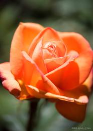 Pristine Morning Rose