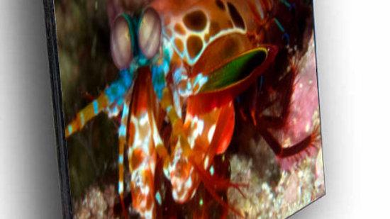 Rainbow Mantis
