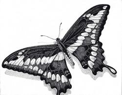 Giant Swallowtail Stipling