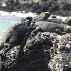 Marine Iguanas @ Galapagos Islands, Ecuador