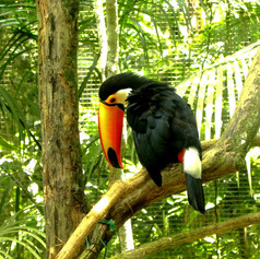 Tucan in Bird Park @ Brazil
