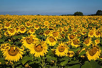 matthiessen-sunflower-field-compressor.j