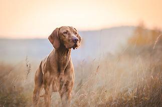 Hungarian hound pointer vizsla dog in au