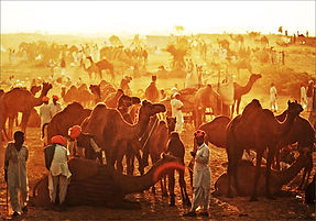 The Pushkar Mela is synonymous with the cattle fair. There are camels, horses, cows, goats, and sheep - all decked up in vibrant hues to be sold and purchased.