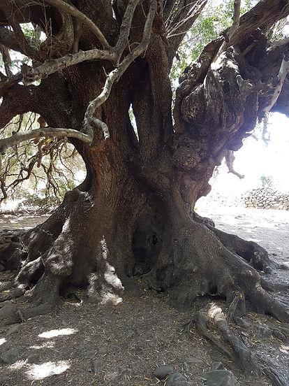 Olivenbaum - 3000 Jahre alt