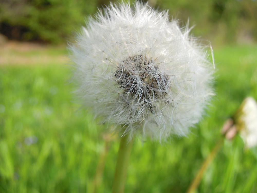 Pusteblume - in alle Winde von Herzen
