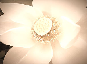 lotus-2373200_1920_edited_edited.jpg