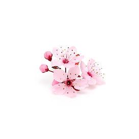 Cherry blossom, sakura flowers isolated