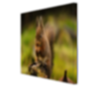 Red Squirrel #1 CANVAS.jpg
