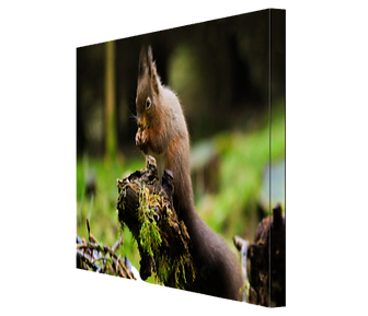 Red Squrrel #4 CANVAS.JPG