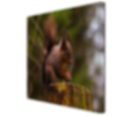 Red Squrrel #3 CANVAS.JPG