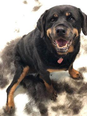 Sierra; Rottweiler