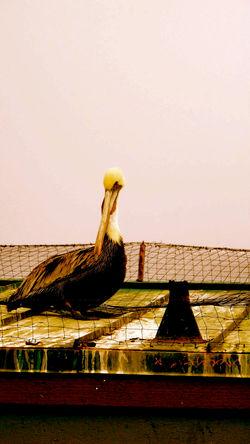 royal brown pelican 3