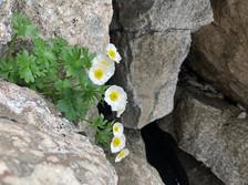 Anche le rocce fioriscono - Ranuncolo