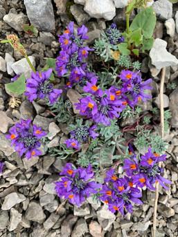 Linaria Alpina - Presolana