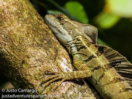 Wildlife Photos: The Common Basilisk