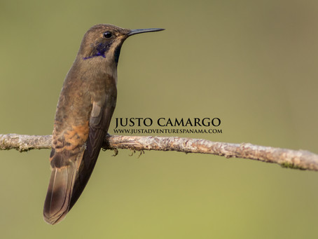 From the Field: Brown Violetear