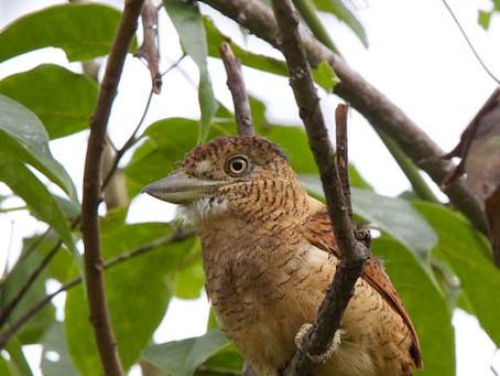 The Barred Puffbird