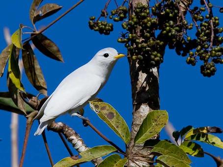 A Regional Endemic Threatened Bird -Yellow-billed Cotinga