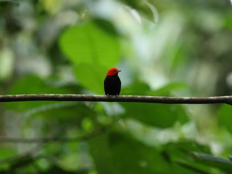 A Neotropical Dancer Bird