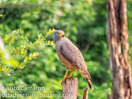 Roadside Hawk -Wild  Bird Photograph-