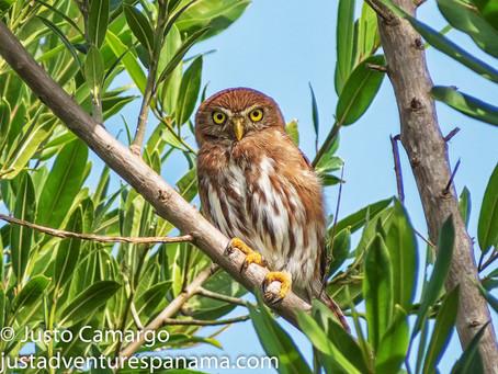 From the Field: Ferruginous Pygmy Owl