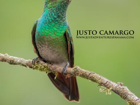 From the Field:  Rufous-tailed Hummingbird  (Amazilia tzacatl)