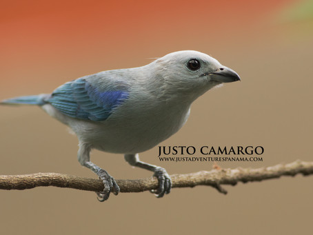 Seed Dispersal: Blue-gray Tanager