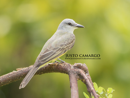 The Tropical Kingbird