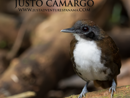 The Ant-follower: Bicolored Antbird