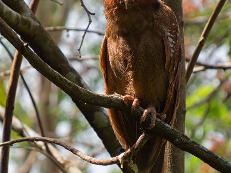 From the Field:  Crested Owl  (Lophostrix cristata)